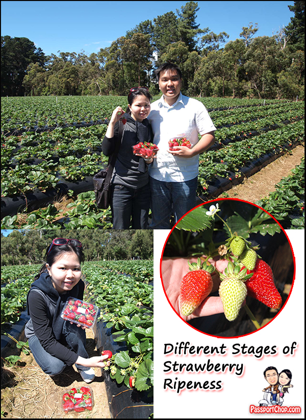 Mornington Peninsula Sunny Ridge Strawberry Farm Strawberry Picking