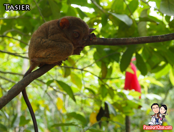 Bohol Tarsier at Philippine Tarsier and Wildlife Sanctuary at Corella as part of Conservation efforts in Philippines Protected Nature Reserve set aside