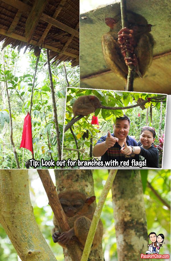 Tarsiers Bohol Conservation Philippines