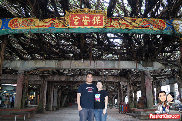 300 year old Banyan tree Baisha 通樑古榕 Penghu