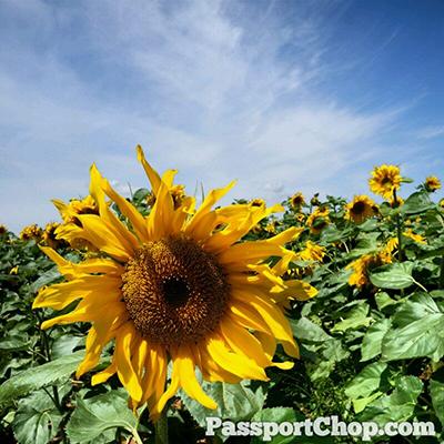 Sunflower Field Huhhot Shangri-La