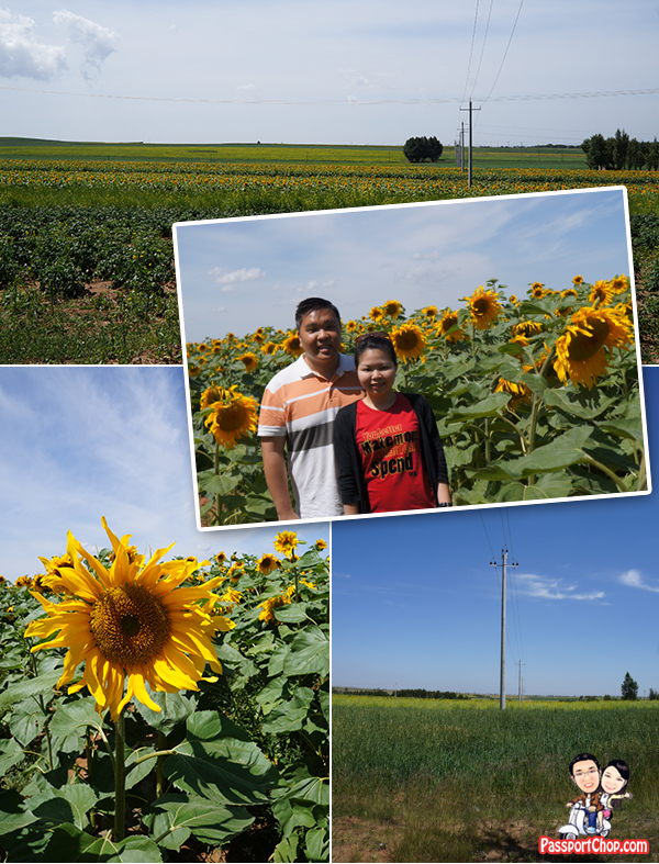 Xilamuren Grassland 希拉穆仁草原 Drive from Huhhot Shangri-La Sunflower Field