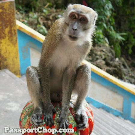 Monkey-Batu-Caves-Kuala-Lumpur