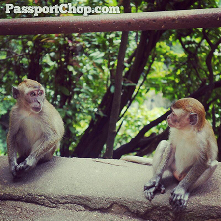 Monkeys-Batu-Caves