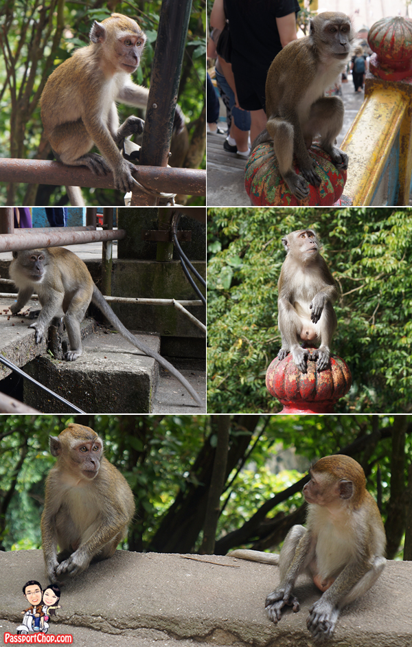 aggressive-monkeys-batu-caves