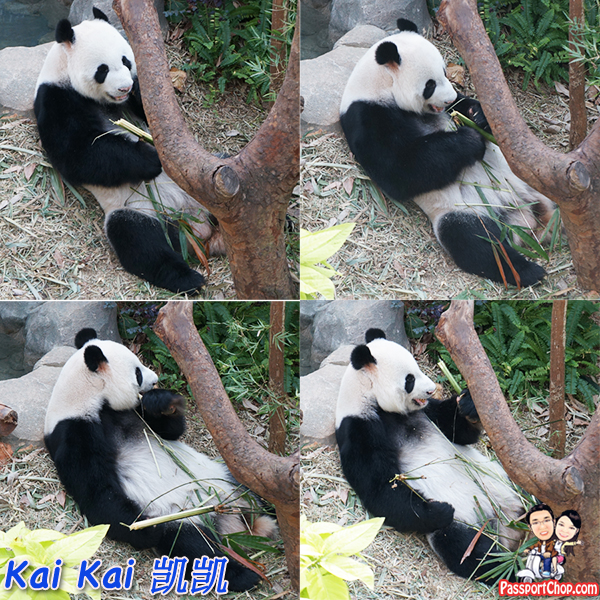 river-safari-singapore-kai-kai-panda-attraction