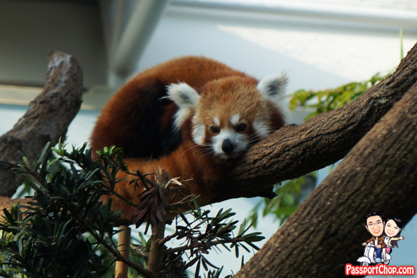 river-safari-singapore-red-panda