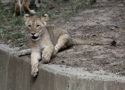 safari-baby-cub