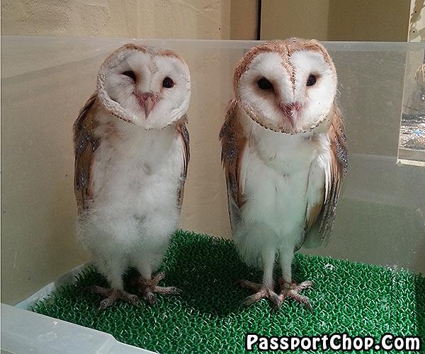 Tori-no-iru-Kafe-Asakusa-white-owl-cafe