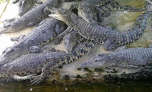teritip-crocodile-balikpapan