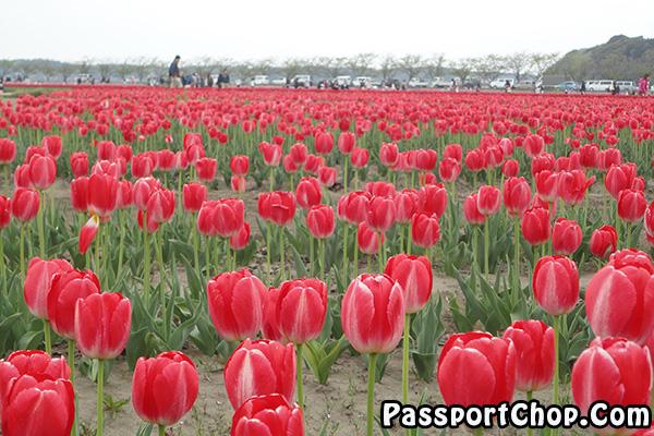 red tulips kanto fiesta sakura 2