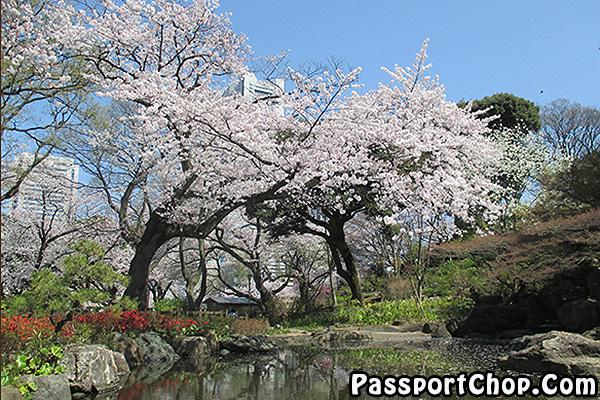 sakura-tokyo-yamanote-line-japan