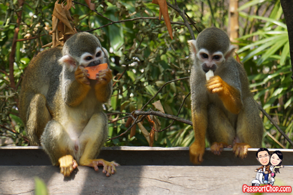 squirrel-monkey-feeding-time-river-safari-singapore