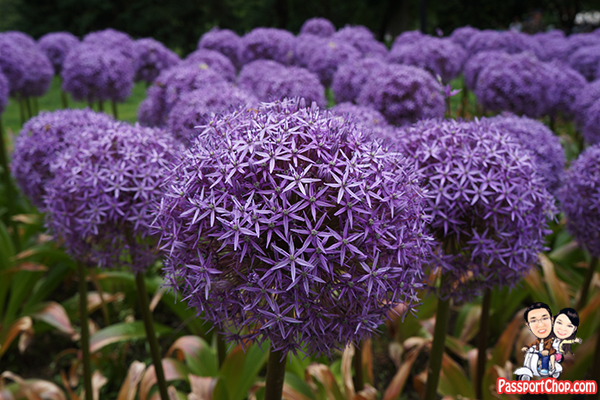 boston-commons-public-gardens-allium