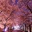 Cherry Blossoms Travel