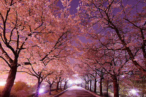 washington cherry blossoms