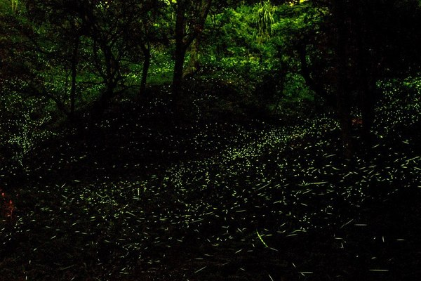 dongshih forest garden fireflies watching season