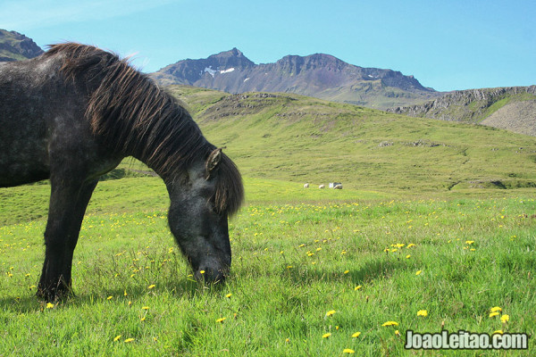 Visit Iceland - Horse on the fields near Grundarfjörður