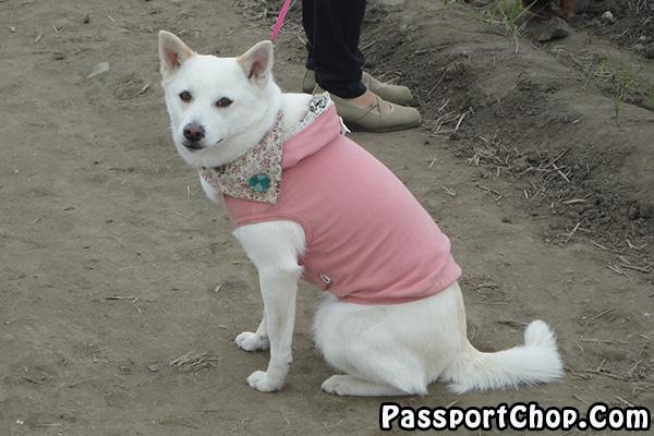 dog tulip fiesta