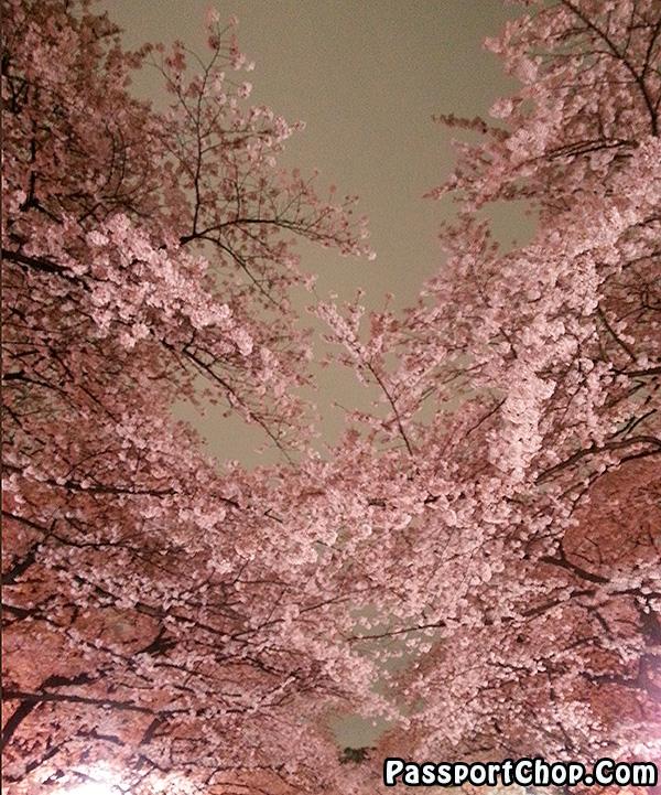 free sakura admission viewing tokyo japan ueno park