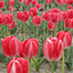 Red Tulips Fiesta