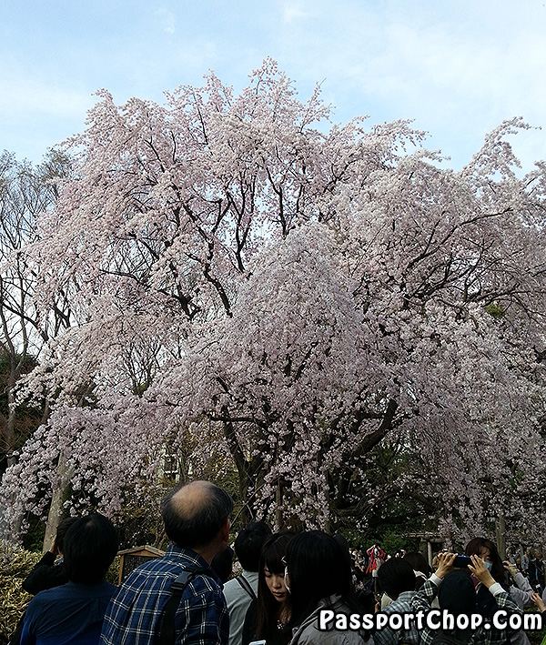 rikugien tokyo shidare sakura viewing japan