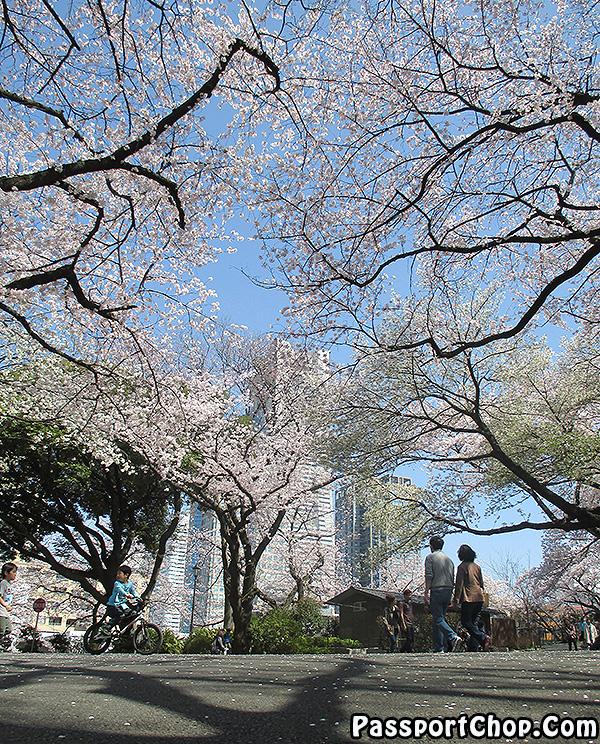 sakura-season-where-to-visit-tokyo-japan