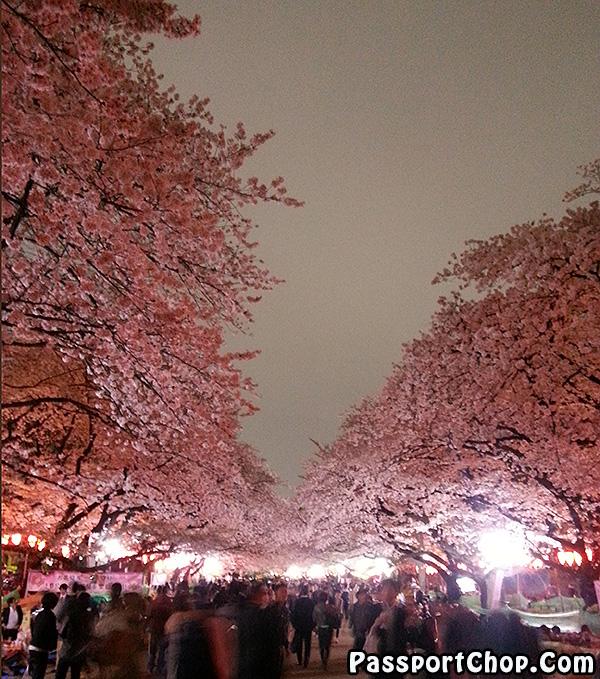 ueno park tokyo sakura season free viewing
