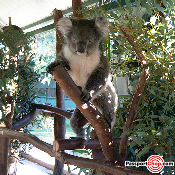 caversham wildlife park koala swan valley perth