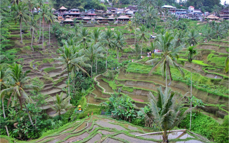Ubud rice fields terraces
