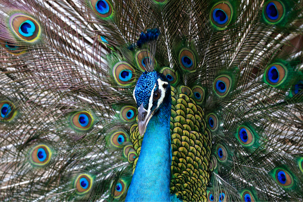 kuala lumpur bird park peacock