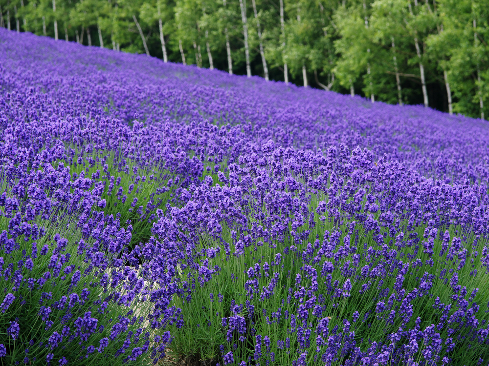 Lavender fields hokkaido summer