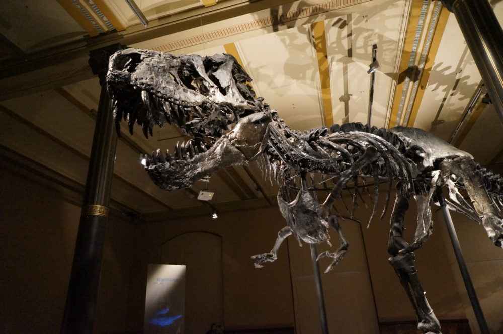 Tyrannosaurus Rex T-Rex Skeleton Fossil Berlin Natural History Museum