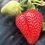 Strawberry Farm Mornington Peninsula